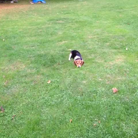 Sheagle Practicing my golf game #bella #beagle #sheagle #golf