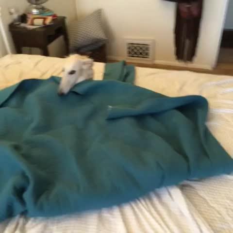 Bed making = #Esper apocalypse #Borzoi #dog #itsmylife #stop