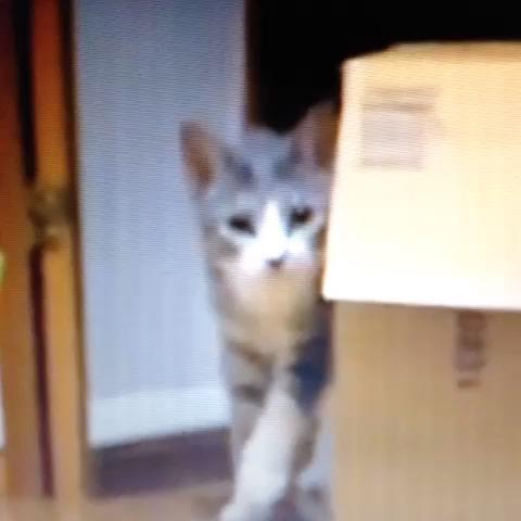 Ninja cat is crazy! #mashup #ninjacat #comedy #stolen vine