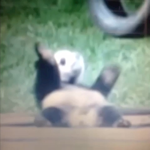 my pet panda hitting that # naenae follow for more funny animal vines