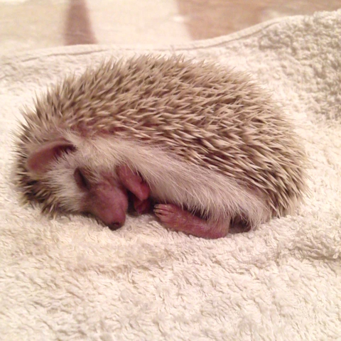 Sleeping Hedgehog Stock Photo 62296237 : Shutterstock