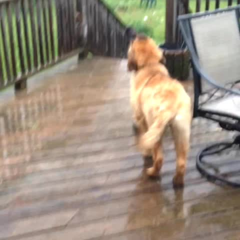 Vine by Nicoleboatright - Ginny catching raindrops #leonberger #dog #rain