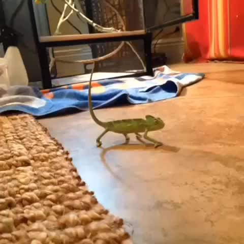 Thot Walk???? #NewPet #Chameleon - Two White Boyss post on Vine
