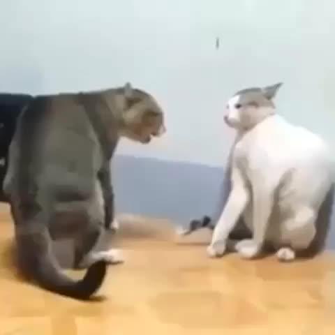 画像2: Vineの動画投稿のテスト2 : 天才ボクサー猫w
