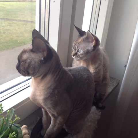 Too sleepy for birdwatching #devonrex - Too sleepy for birdwatching #devonrex - Sixten and Morrgans post on Vine