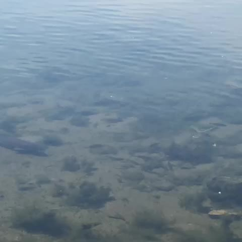 Vine by Dylan Thomas - Big fish prowling the shallows at Lake Calhoun