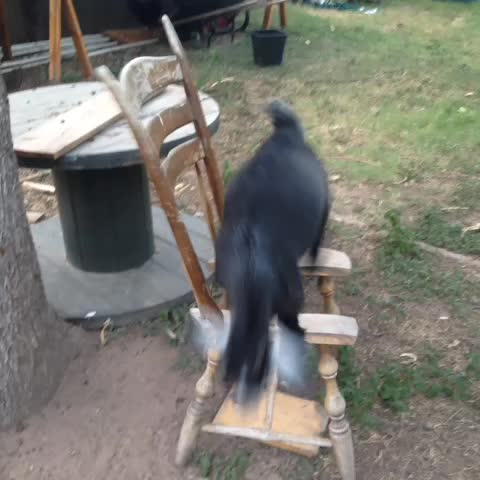 citygoats post on Vine - I do what I want #goats - citygoats post on Vine