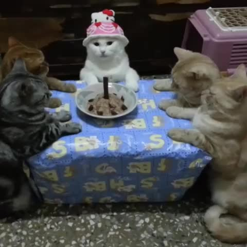 These well behaved cats are having a very nice and polite birthday party. - Vine by Digg - These well behaved cats are having a very nice and polite birthday party.