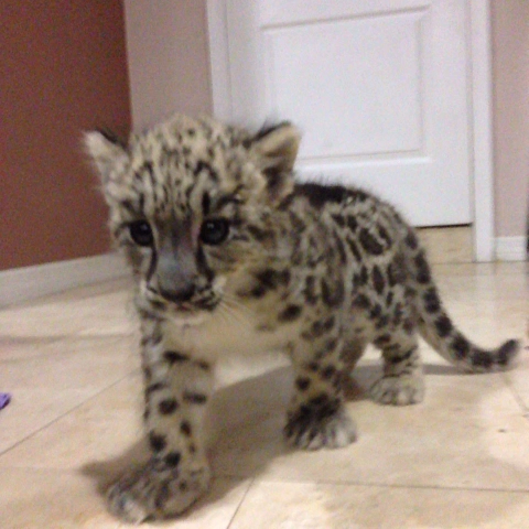 Anthony Gs post on Vine - Hanging out with Sabrina the snow leopard cub, follow mariazwf on Instagram to see more videos of her and other animals! - Anthony Gs post on Vine