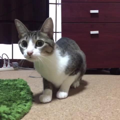 Vine by MAKO0MAKO0 / まこまこ - Wiggle♻️Wiggle #cats #Ohagi #wiggle #ねこ #おはぎ #お尻フリフリ