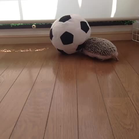 marutaro the hedgehogs post on Vine - Vine by Marutaro The Hedgehog - Dribble a ball. #hedgehogadventure #hedghog #football #SoccerBall