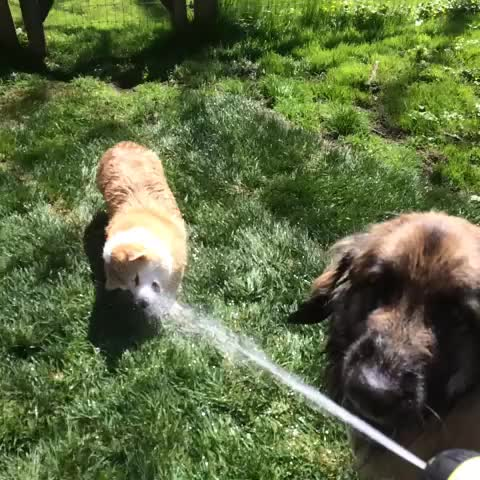 Vine by Rin Feet - #leonberger #corgi #dog #dogs #funny #lol #scampthecorgi