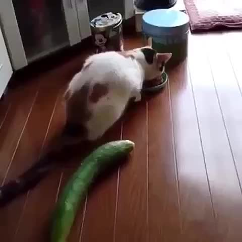 susto extremo a un gato #cat #cats #wtf #animal - Vine by Yisucrist - susto extremo a un gato #cat #cats #wtf #animal