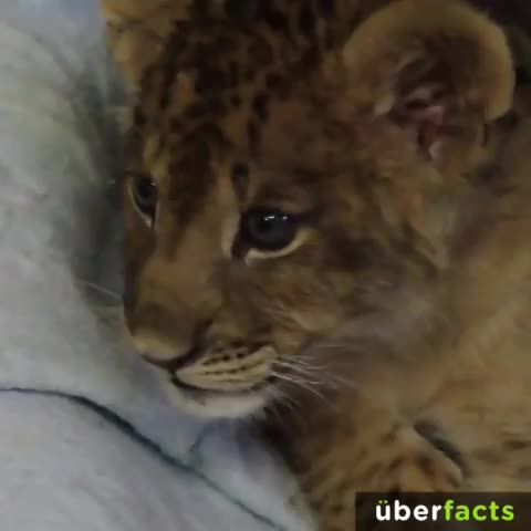 "UberFactss post on Vine - This is how a lion cub ""roars."" #UberFacts - UberFactss post on Vine"