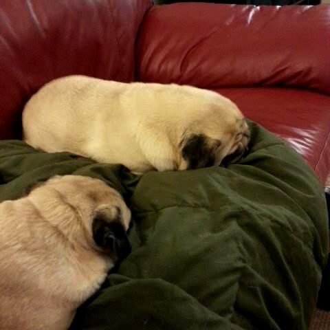 Bah Humpugs post on Vine - Squeaking dreaming pug loaf - Bah Humpugs post on Vine