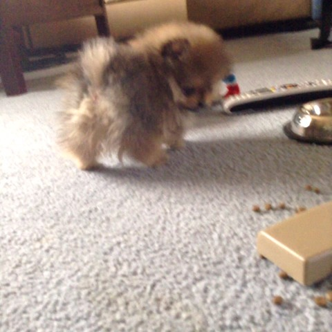 Deanna Frisks post on Vine - Vine by Deanna Frisk - Puppy Falls Over #cute #omg #squeakytoy  #adorable #kawaii #puppy #pomeranianpuppy