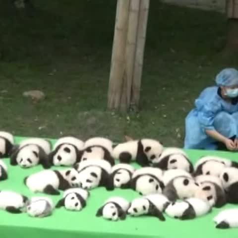 Vine by A3Noticias - Los osos panda abandonan la lista de animales en peligro de extinción. #A3Noticias