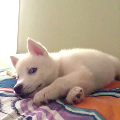 Bimah The Huskys post on Vine - And now he barks #husky #puppy - Bimah The Huskys post on Vine