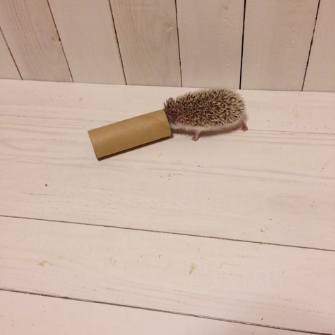 Baby hedgehog is playing with a toilet paper tube #hedgehog #africanpygmyhedgehog #aph #baby #pets #cute #ハリネズミ - marutaro the hedgehogs post on Vine