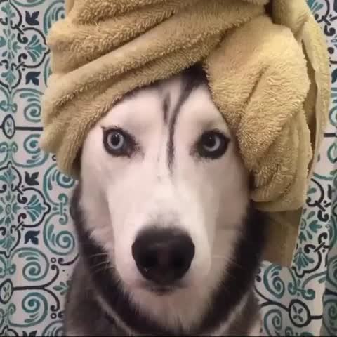 Vine by Miles The Husky - Contemplating if I really wanna go out tonight. 🤔 #husky #dogsofvine