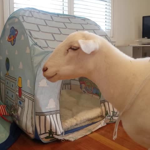 Vine by Joy the Sheep - No problem at all 🐑 #joythesheep