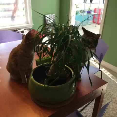 Watch sarah 39 s vine ponytail palm tag team jamiepumpkin for Ponytail palm cats