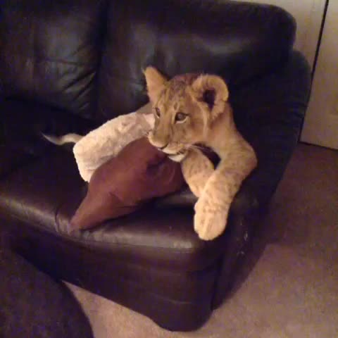 BigCatDereks post on Vine - Zuberi and Araali are MESMERIZED by Dora the Explorer!!! #lioncubs #beebees - BigCatDereks post on Vine