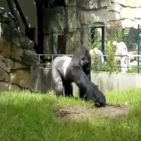 Chest-Bumps post on Vine - The gorilla tactics are strong with this one. 🐵 - Chest-Bumps post on Vine