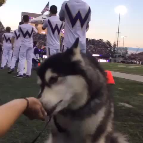 Vine by University of Washington - No distraction can deter Dubs from his treats! We 💜 our #UWmascot #GoDawgs