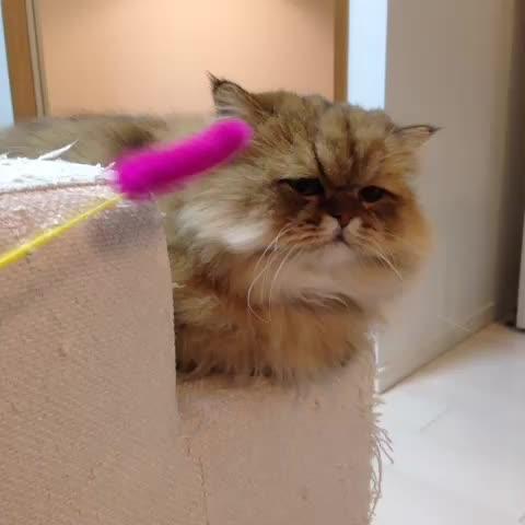 ふーちゃん(foochan)s post on Vine - 無。#cat #meow #animal #foochan - ふーちゃん(foochan)s post on Vine