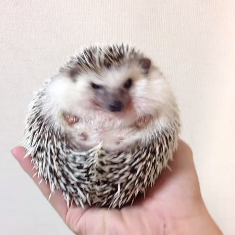 marutaro the hedgehogs post on Vine - =͟͟͞͞ʕ•̫͡•ʔ#hedgehog #hedgehogadventure #animal #pets #cute - Marutaro The Hedgehogs post on Vine