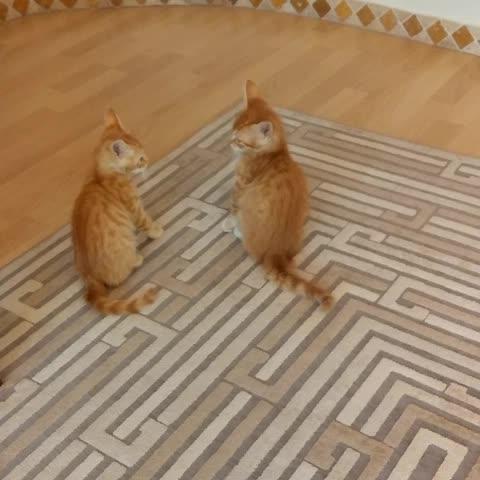En Garde! ???????? #Kitten #kedicik #CookieTombik #Istanbul #funnyvine #ginger #EnGarde #catfight #LOL #catvine #kedivine - Vine by Cookie Tombik - En Garde! 😼😸 #Kitten #kedicik #CookieTombik #Istanbul #funnyvine #ginger #EnGarde #catfight #LOL #catvine #kedivine