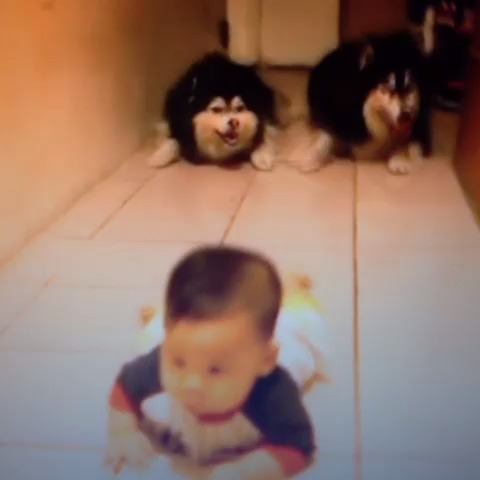 Dogs mimic baby crawling