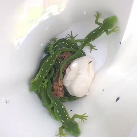 Kimberley Collinss post on Vine - Transferring green geckos from mana island at Zealandia. - Kimberley Collinss post on Vine