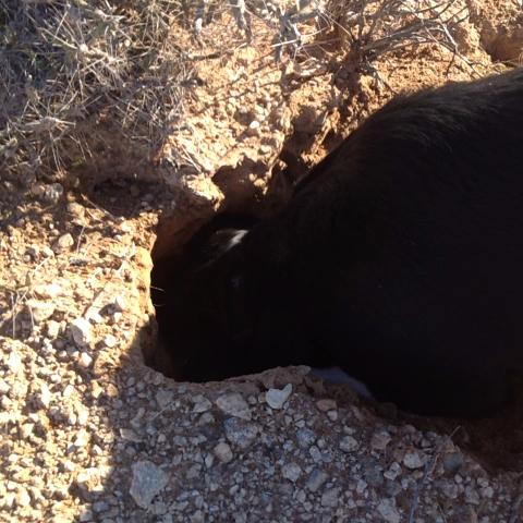 Digging! #dog #desert #yuma #Vine