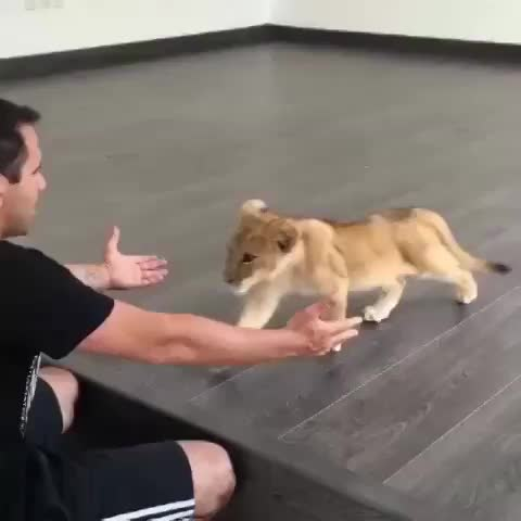Lion cub loves his caretaker :) #animals #cute - Vine by Alex Kanakaris - Lion cub loves his caretaker :) #animals #cute