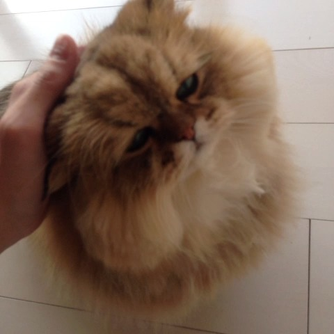 ふーちゃん(foochan)s post on Vine - #animal #meow #foochan #cat - ふーちゃん(foochan)s post on Vine