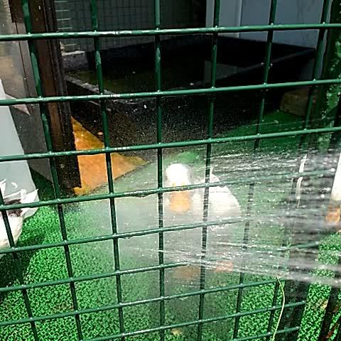 Vine by こだのすけ&こだニコ雪@週末に鶴舞公園 - 名古屋38度らしいから、干上がらないようにコールダックにダイレクト給水ちう。