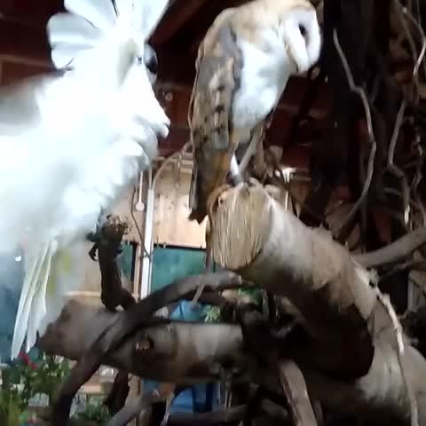 Vine by Nagasaki_BIOPARK - Whos gonna make you fall in love!!!!!  -- Umbrella cockatoo & Barn owl