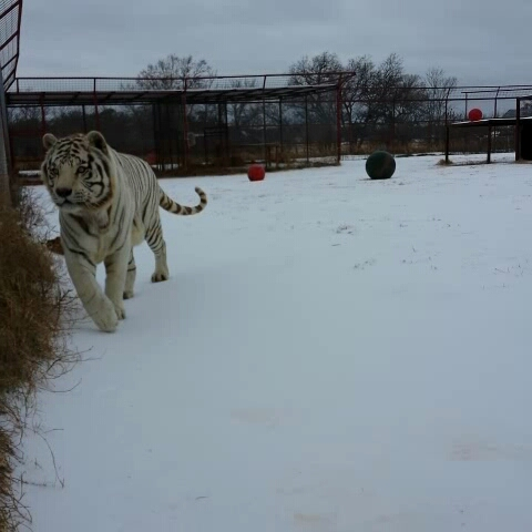 Silent Levi under the cold gray sky #tiger - BigCatDereks post on Vine
