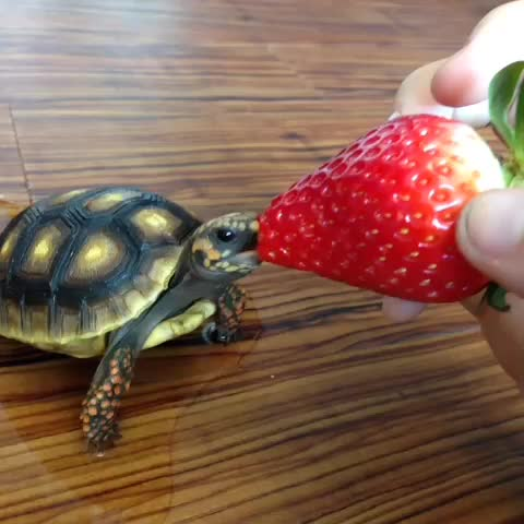 Hannah Roses post on Vine - Lucy likes strawberries a little bit (p.s. I took her out of her soak right before this, not pee) #tortoise - Hannah Roses post on Vine