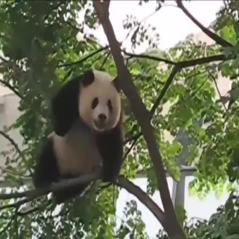 Vine by Rejected Cartoons - Everything is awesome when youre a PANDA!