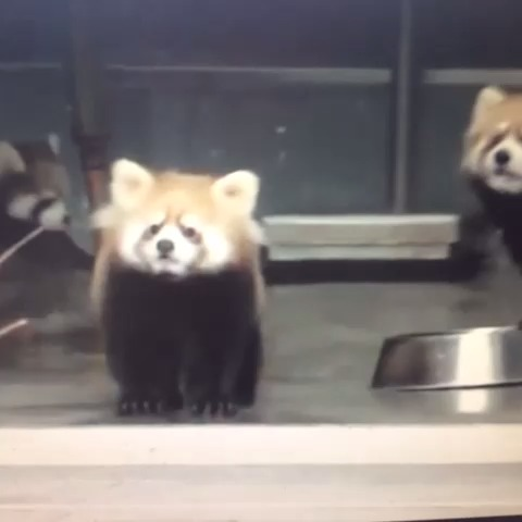 Red Pandas are easily scared