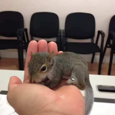 Anthony Gs post on Vine - Meet Kiwi! The new member to my family, shes a rescued squirrel that Im taking in to hand raise 😊 - Anthony Gs post on Vine