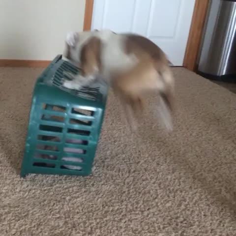 Vine by Hazel The Bulldog - Laundry basket shenanigans