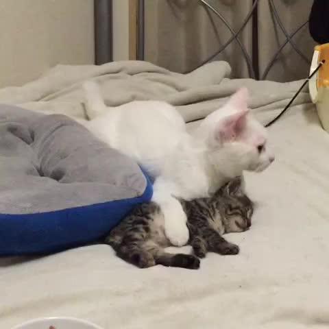 Vine by nekokamasu - 地震なの時の麿白と子猫。麿白は逃げずに、子猫をかばうかのような姿勢になっていた #保護猫 #ぬこ #catsofvine #ねこvine #ねこ部 #ねこ #catvine #猫部 #cat #子猫 #kitten #こねこ #kittenvine