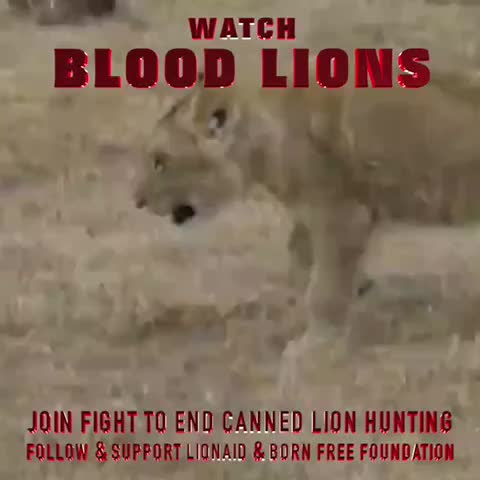 Vine by ANIMAL ADVOCATE  Ⓥ - Watch #BloodLions #film & join fight to end #CannedHunting of #Lions. Follow & support  @Blood_Lions @Lionaid @BFFoundation.  #BeTheirVoice