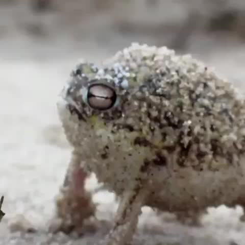 Double tap if you think hes adorable ???? #desertrainfrog - Vine by #Animals - Double tap if you think hes adorable 🐸 #desertrainfrog