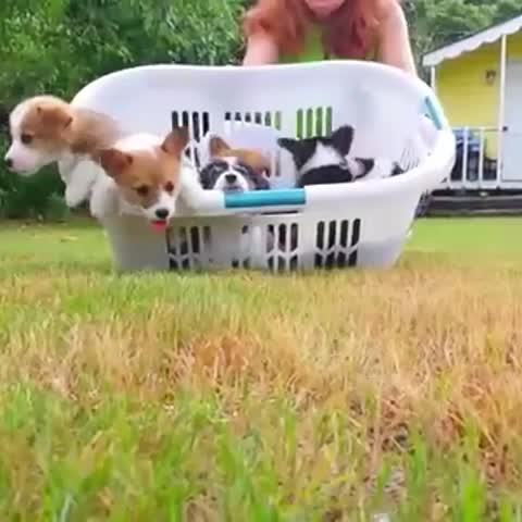 THE CORGIS ARE COMING! #corgi #puppies #puppy #corgipuppy #cute #socute #cuteemergency - Vine by Cute Emergency - THE CORGIS ARE COMING! #corgi #puppies #puppy #corgipuppy #cute #socute #cuteemergency