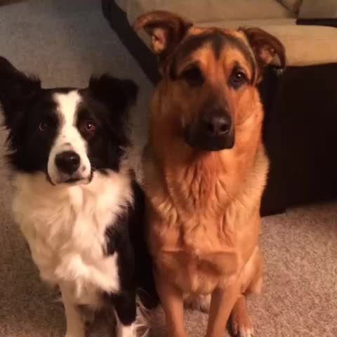 Vine by Lottie - Whos your best friend? #lottiethecollie #grizzlythegsd #hug #love #bestfriend #dogsofvine #dogsonvine #dogoftheday #cute #adorable #love